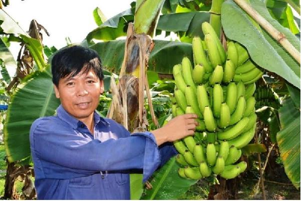 Lãi 600 triệu đồng nhờ trồng chuối nam mỹ