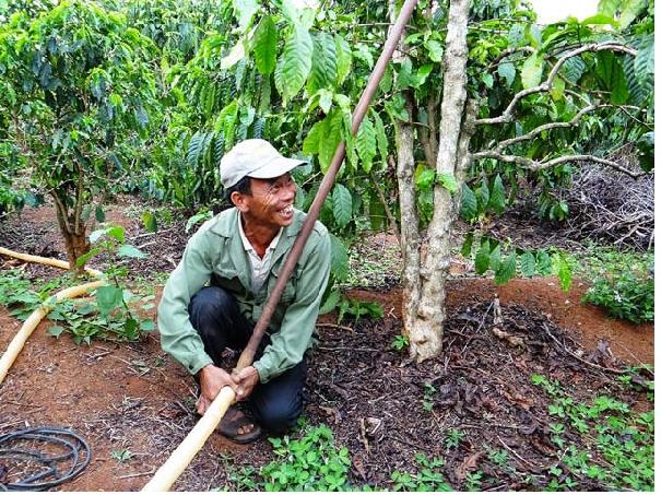Cà phê trở thành cây kinh tế chủ lực ở Tây Nguyên