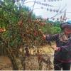 """Người trồng cà phê """"khóc ròng""""vì mưa kéo dài"""