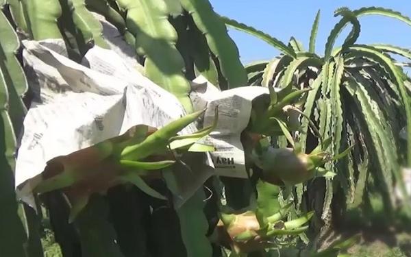 Người dân BÌnh Thuận dùng báo bọc trái chín chờ lên giá