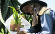 Nhà vườn Bình Thuận dùng báo bọc thanh long chờ nhích giá
