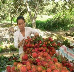 Lãi suất tăng nhanh nhờ trồng chôm chôm nghịch mùa