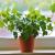 Cây Thường Xuân - cây tài lộc giúp xóa tan âm khí trong nhà