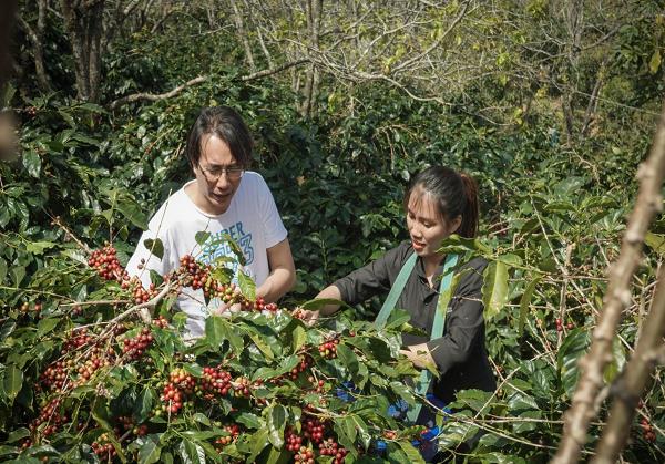 Nỗi lo đầu ra cà phê sạch, sản lượng giảm mức thu mua thấp