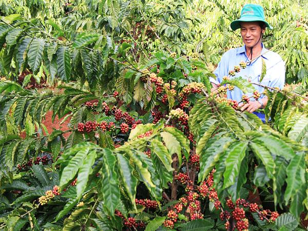 Nỗi lo đầu ra cà phê sạch của người dân tỉnh Lâm Đồng